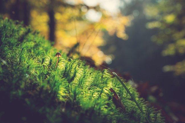 Маленький коричневый гриб растет среди мха в лесу