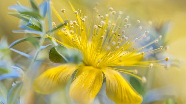 Желтый цветок с голубыми листьями