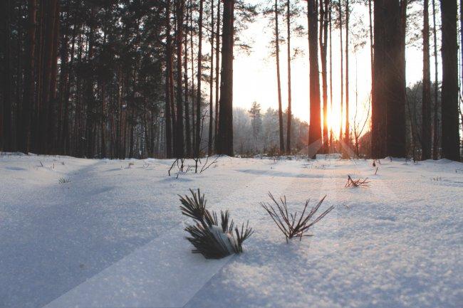 Снег в хвойном лесу