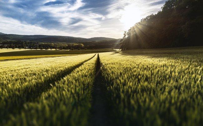 Дорога в поле среди колосьев ржи