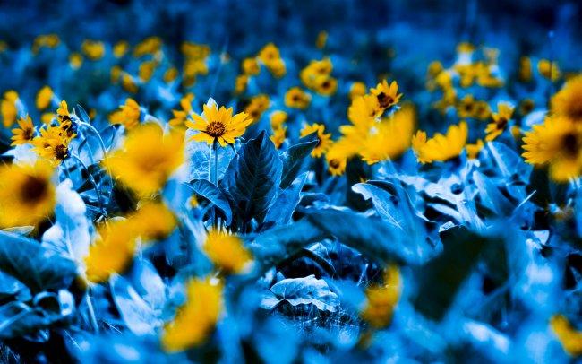 Желтые цветы с голубыми листьями