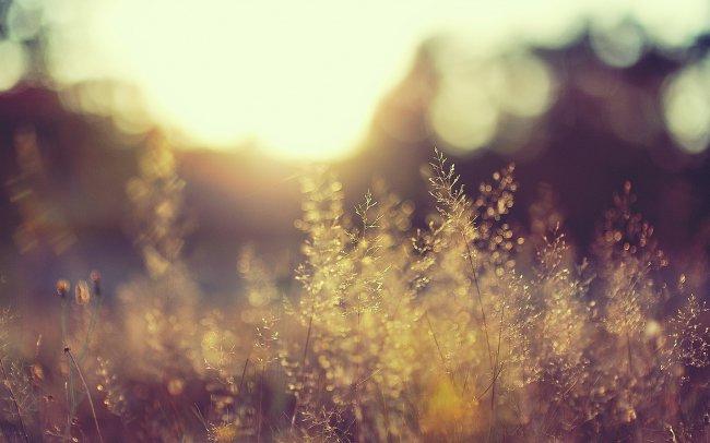 Колосья травы на рассвете