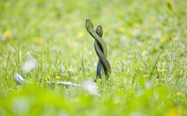 Две змеи на зеленой траве