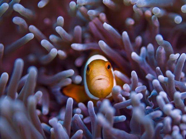 Рыба-клоун в окружении щупалец актинии