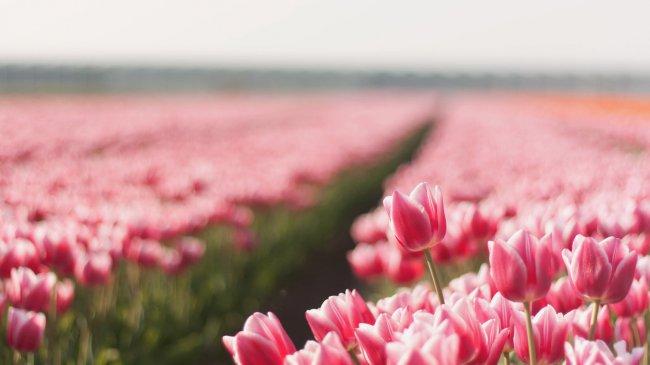 Тюльпановая роща