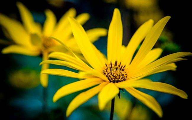 Желтые герберы