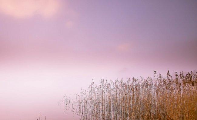 Камыши в туманном озере