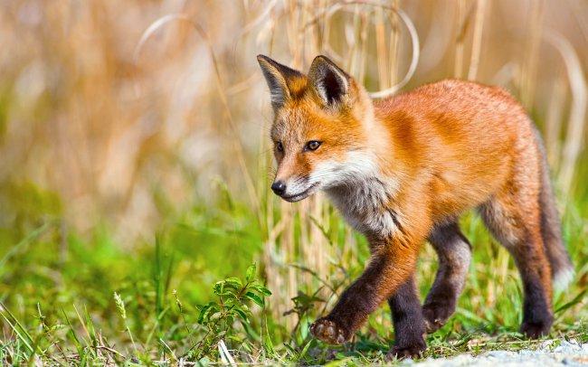 Маленькая рыжая лисица