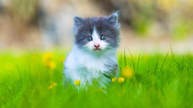 Голубоглазый котенок в траве с желтыми цветами