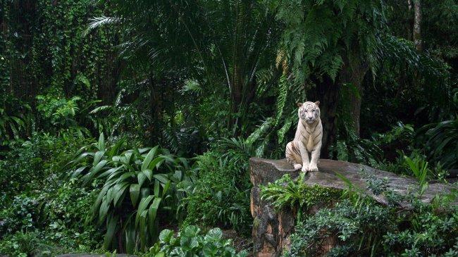 Белый тигр сидит на камне среди джунглей