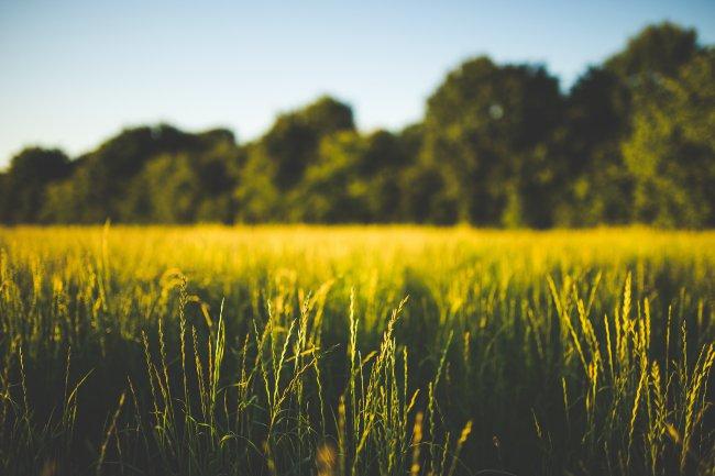 Колосья зеленой травы в поле на фоне деревьев