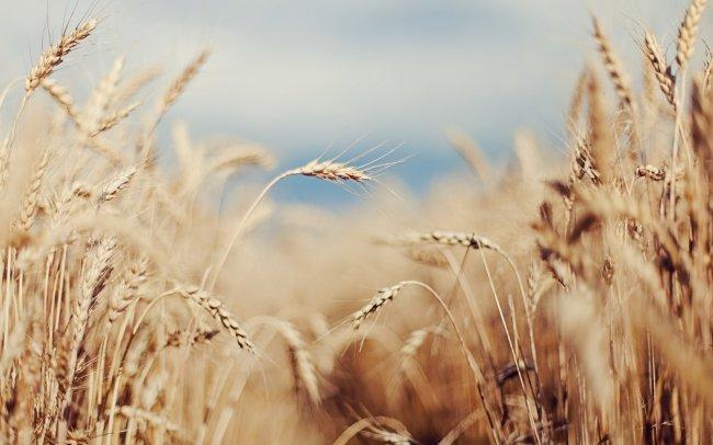 Поле колосьев пшеницы