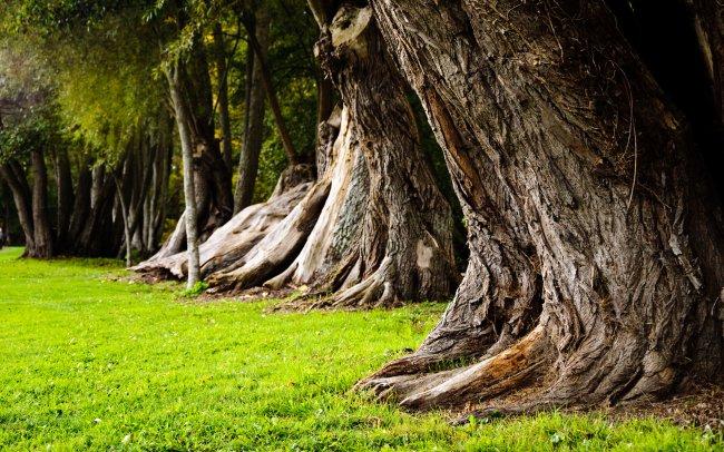 Стволы старых деревьев