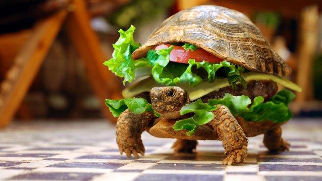 Черепаха гамбургер