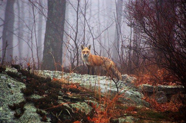 Рыжая лиса в осеннем лесу