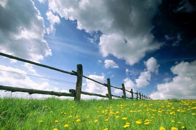 Одуванчики в траве вдоль забора