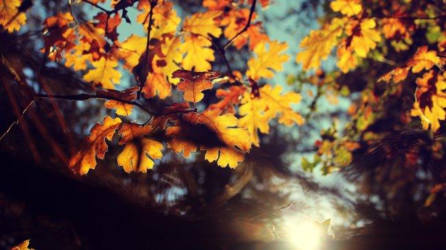 Пожелтевшие листья желудя