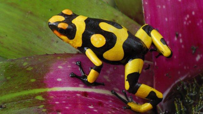 Лягушка Колумбийский древолаз