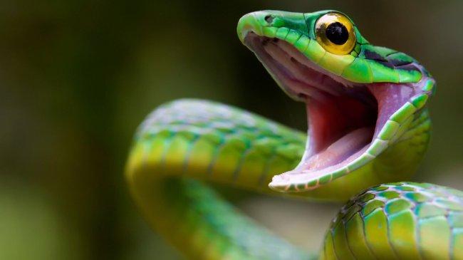 Шипящая змея