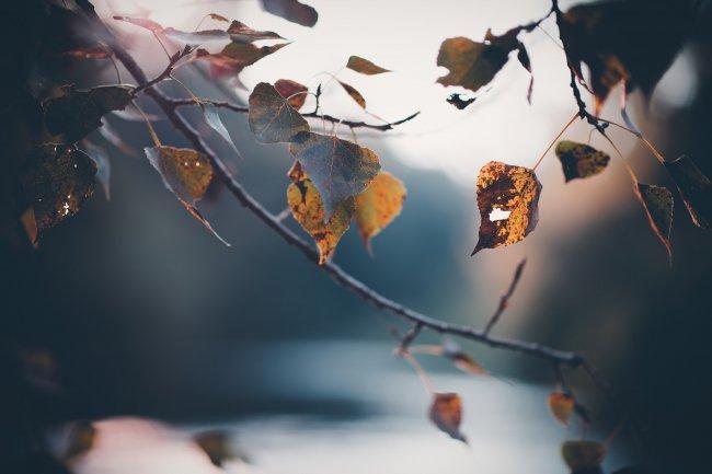 Пожелтевшие осенние листья березы