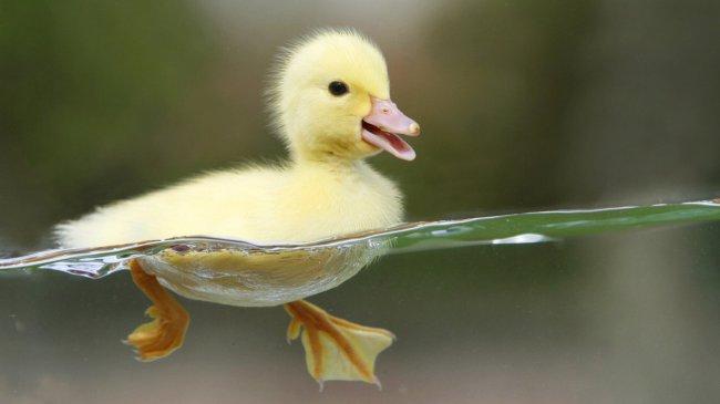 Маленький утенок учится плавать