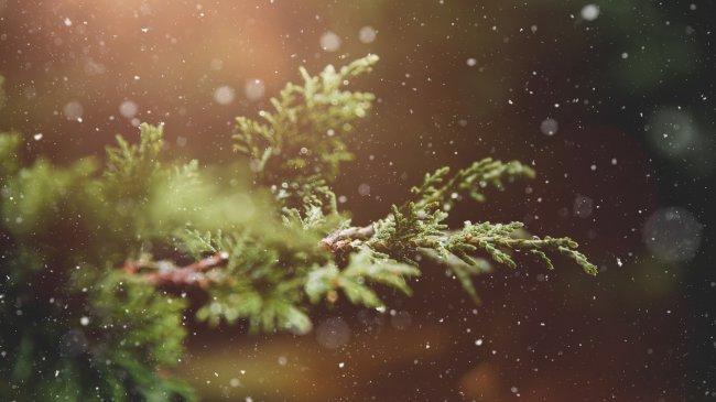 Ветки хвойного растения