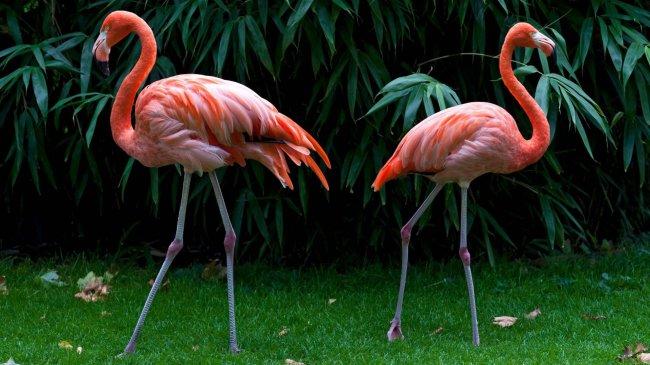 Два розовых фламинго