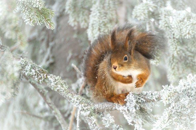 Белка зимой на хвойном дереве