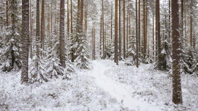 Зимний хвойный лес
