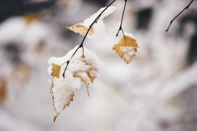 Березовые листья в снегу