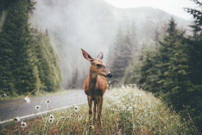 Олень в Национальном парке Олимпик штата Вашингтон, США