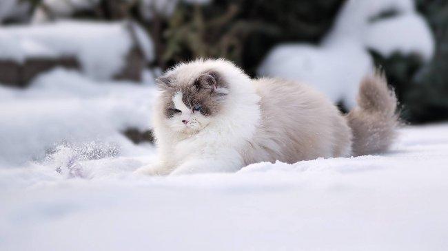 Пушистая кошка Рэгдолл в снегу
