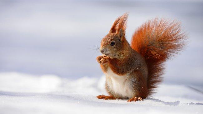 Рыжая белка на снегу