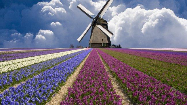 Мельница посреди цветущего поля, Голландия