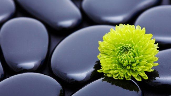 Хризантема среди черных камней