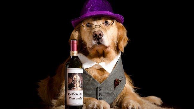 Ретривер в шляпе и очках рядом с бутылкой вина