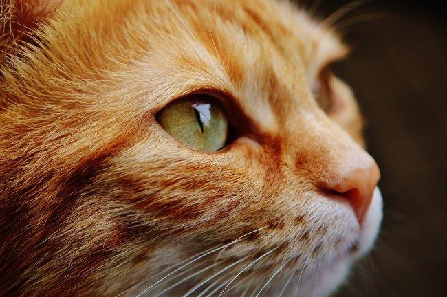 Морда рыжего кота