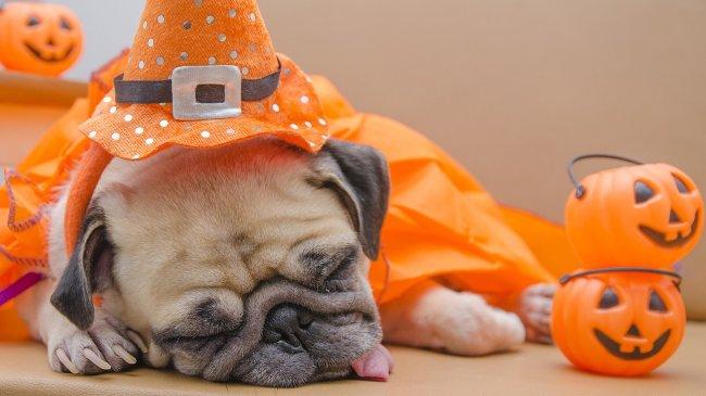 Спящий мопс в костюме на Хэллоуин