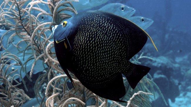 Черная рыба среди водорослей