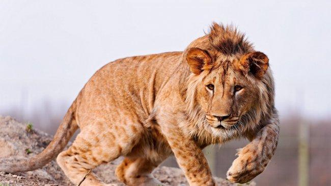 Лев в охоте