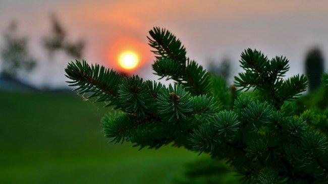 Еловая ветка на фоне заката