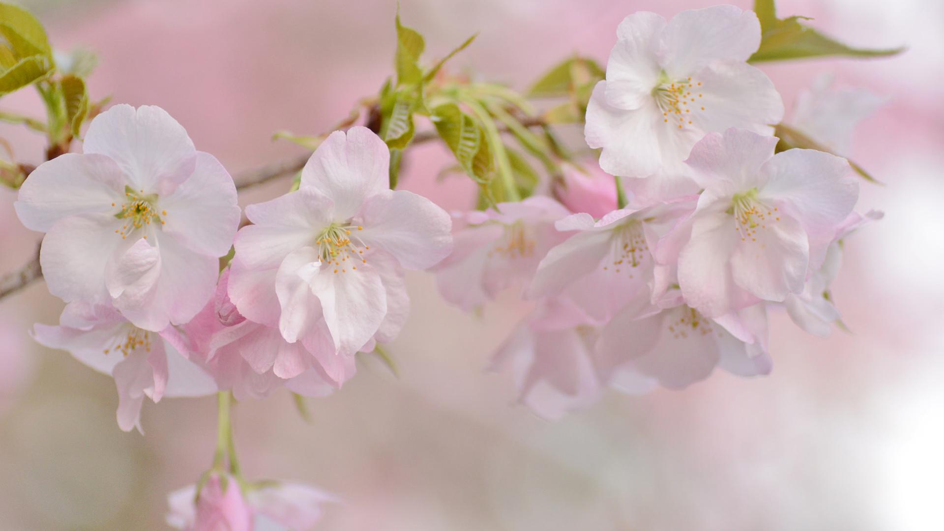 ручка, показать фотообои три д цветущей вишни ветки прикольные