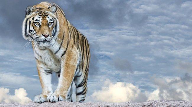 Тигр на вершине скалы
