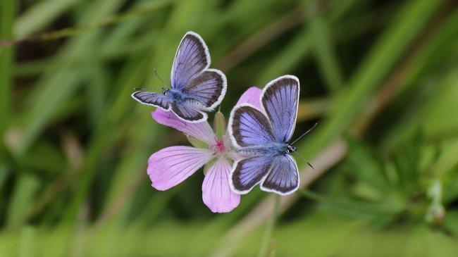 Две бабочки сидят на цветке