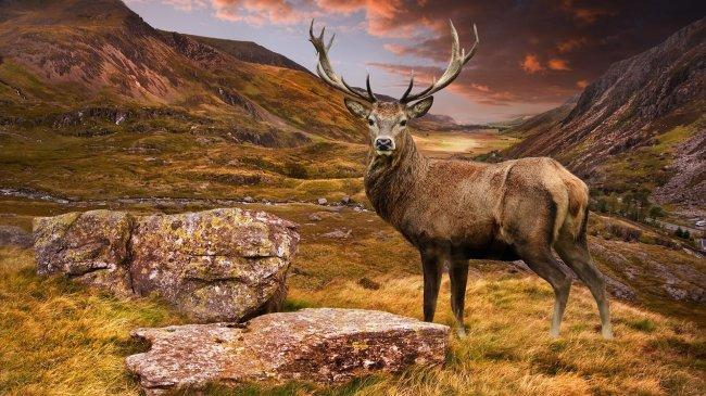 Благородный олень среди холмов