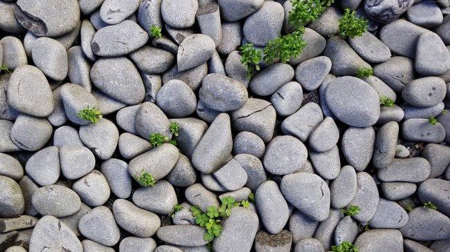 Трехлистный клевер среди камней