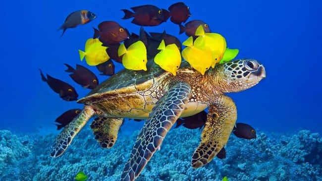 Большая морская черепаха в окружении рыб
