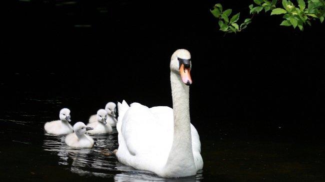 Лебедь плывет со своими птенцами