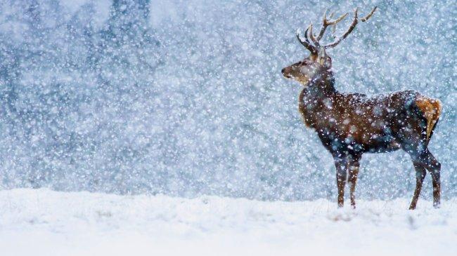 Благородный олень под падающим снегом