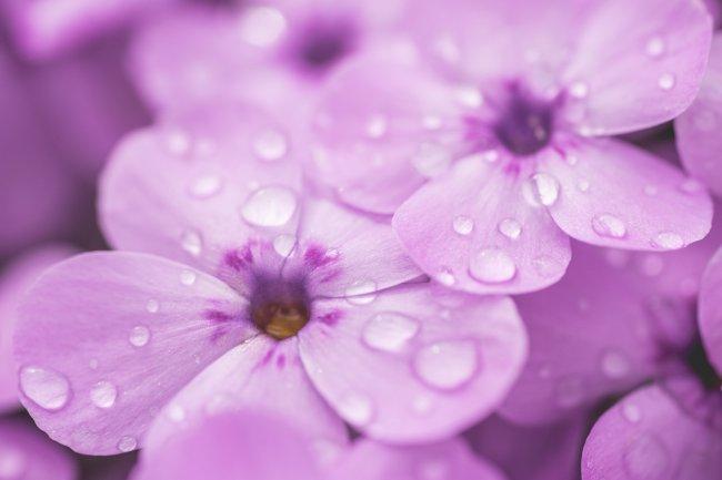 Капли дождя на фиолетовом цветке